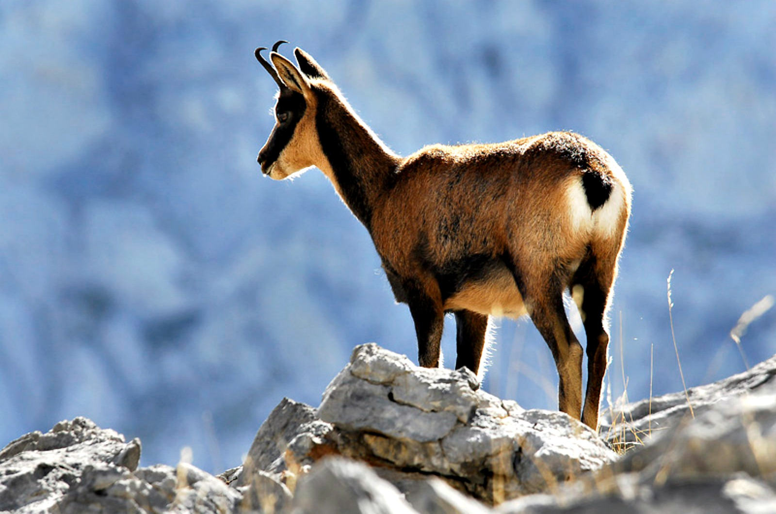 An agile chamois looks from a rocky outcrop on our Wildlife Walking Holidays Spain