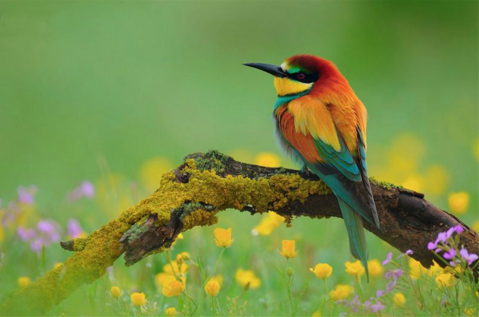 A beautiful image of a European bee-eater resting on a branch in a meadow on our Wildlife Walking Holidays Spain