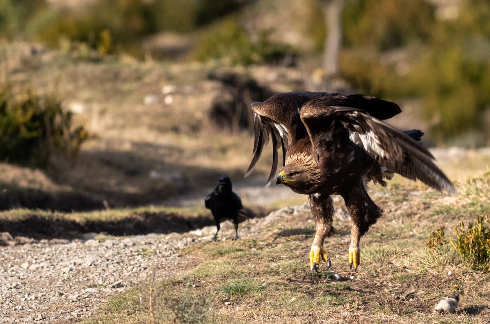 A golden eagle photographed with wings swooped back as it lands near our hides on our Photography Holiday Spain