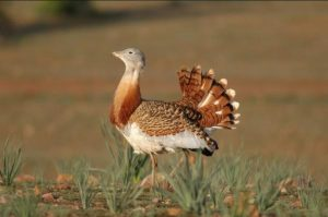 A Great bustard stands in a filed on our Birds of Northern Spain trip in the Spanish Pyrenees