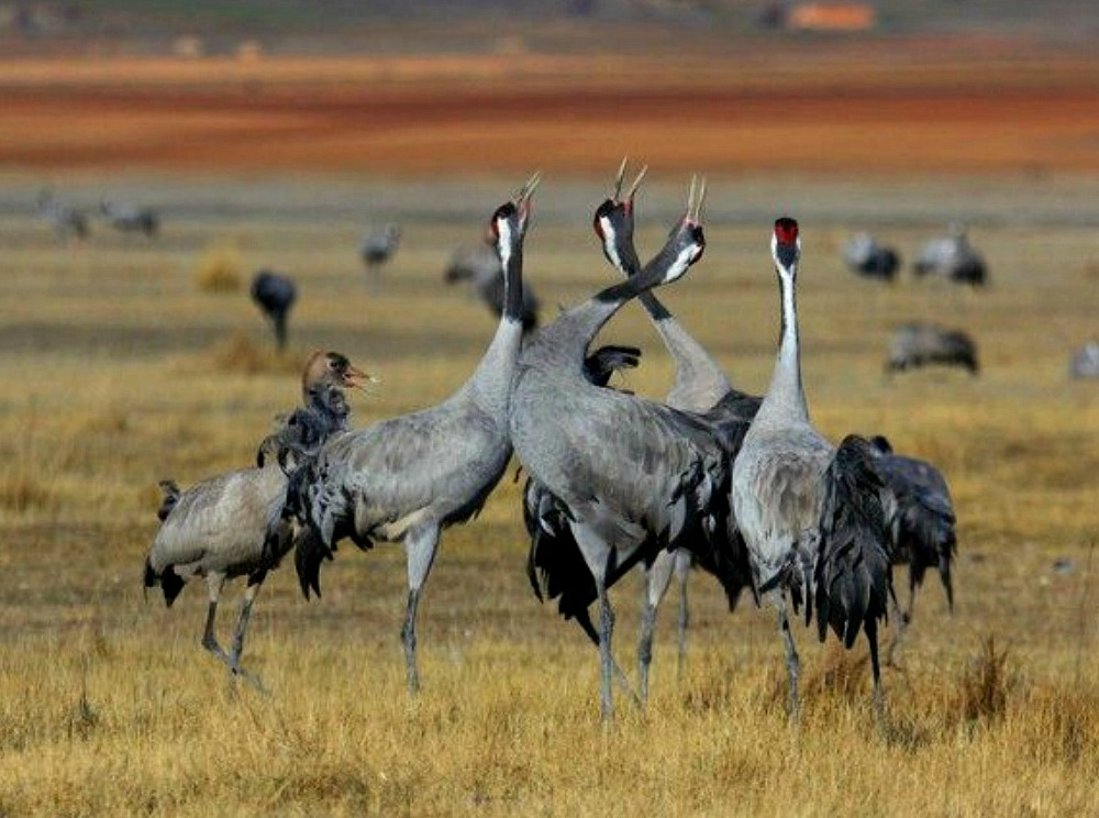 A grouip of four common cranes on the lake shore at gallocanta begin to display turning their heads upwards on our Birds of Northern Spain trip in the Spanish Pyrenees