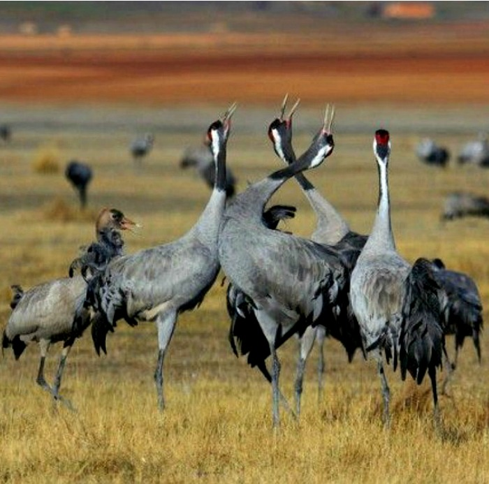 A group of common cranes display with thier beaks up in the air at gallocanta on our Birds of Northern Spain trip in the Spanish Pyrenees