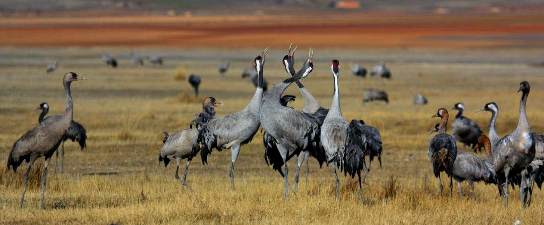 A group of common cranes begin to display with heads and beaks turned skywards on our Birds of Northern Spain trip in the Spanish Pyrenees