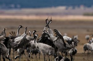 Common cranes on the lake shore at the gallocanta lagoon on our Birds of Northern Spain trip in the Spanish Pyrenees