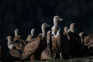 Griffon vultures gathered on the ground outside the hides in the Spanish Pyrenees on our Photography Holiday Spain