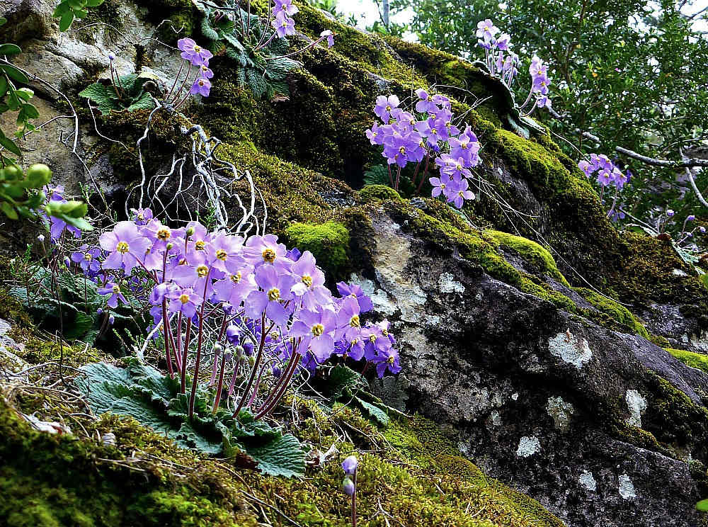 A shady bank covered in hairy or Pyrenean violets on our Wildlife Walking Holidays Spain