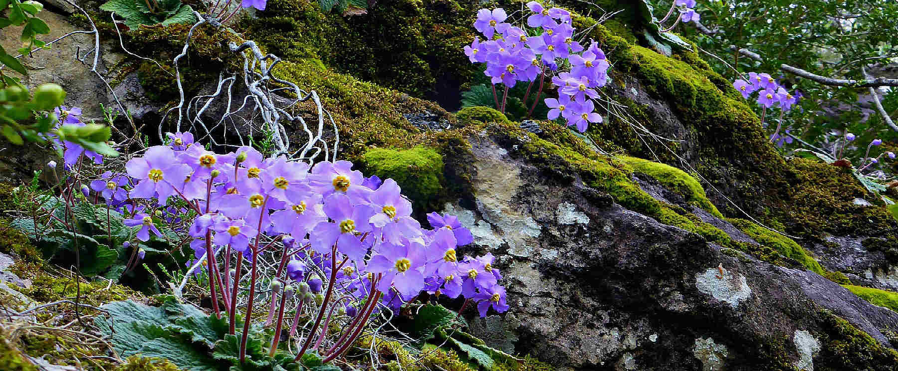 A rocky bank covered in Pyrenean Violets on our Wildlife Walking Holidays Spain