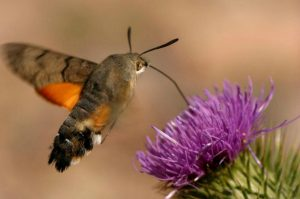 A humingbird hawk-moth with its proboscis taking nectar from a thistle on our Wildlife Walking Holidays Spain