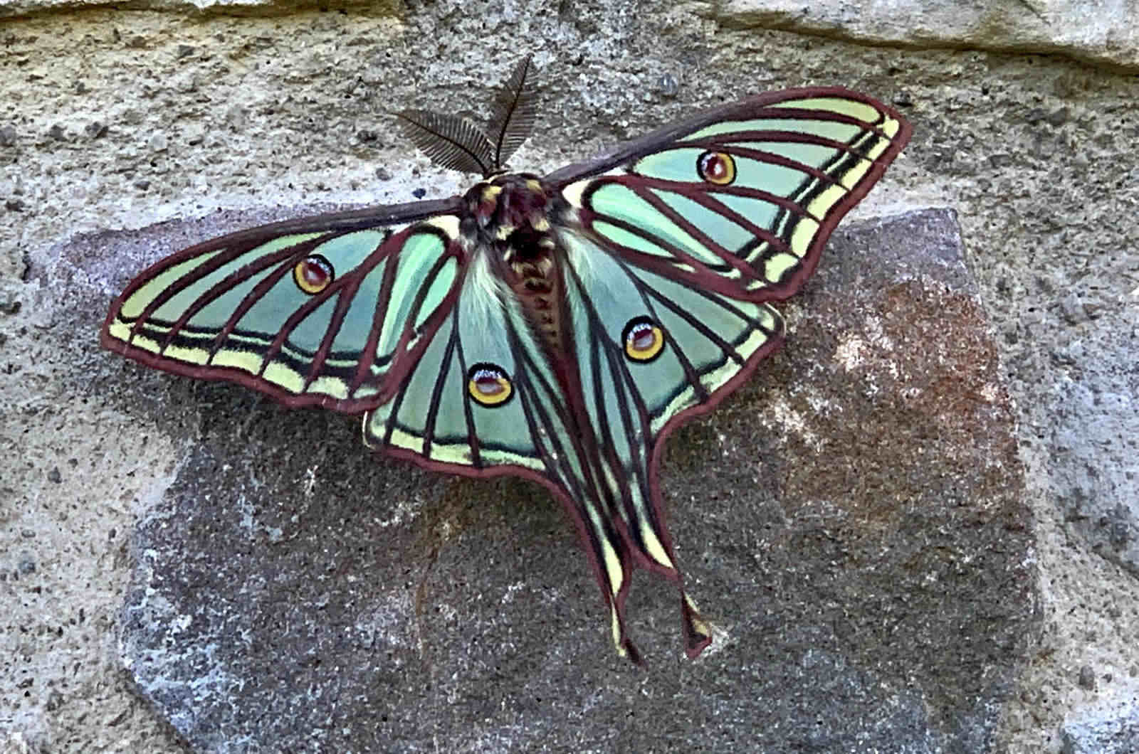 Spanish Moon Moth seen resting on the wall of our house on our Wildlife Walking Holidays Spain
