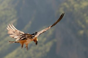A bearded vulture soars on a thermal in the Spanish Pyrenees on our Guided Walking Holiday Spain
