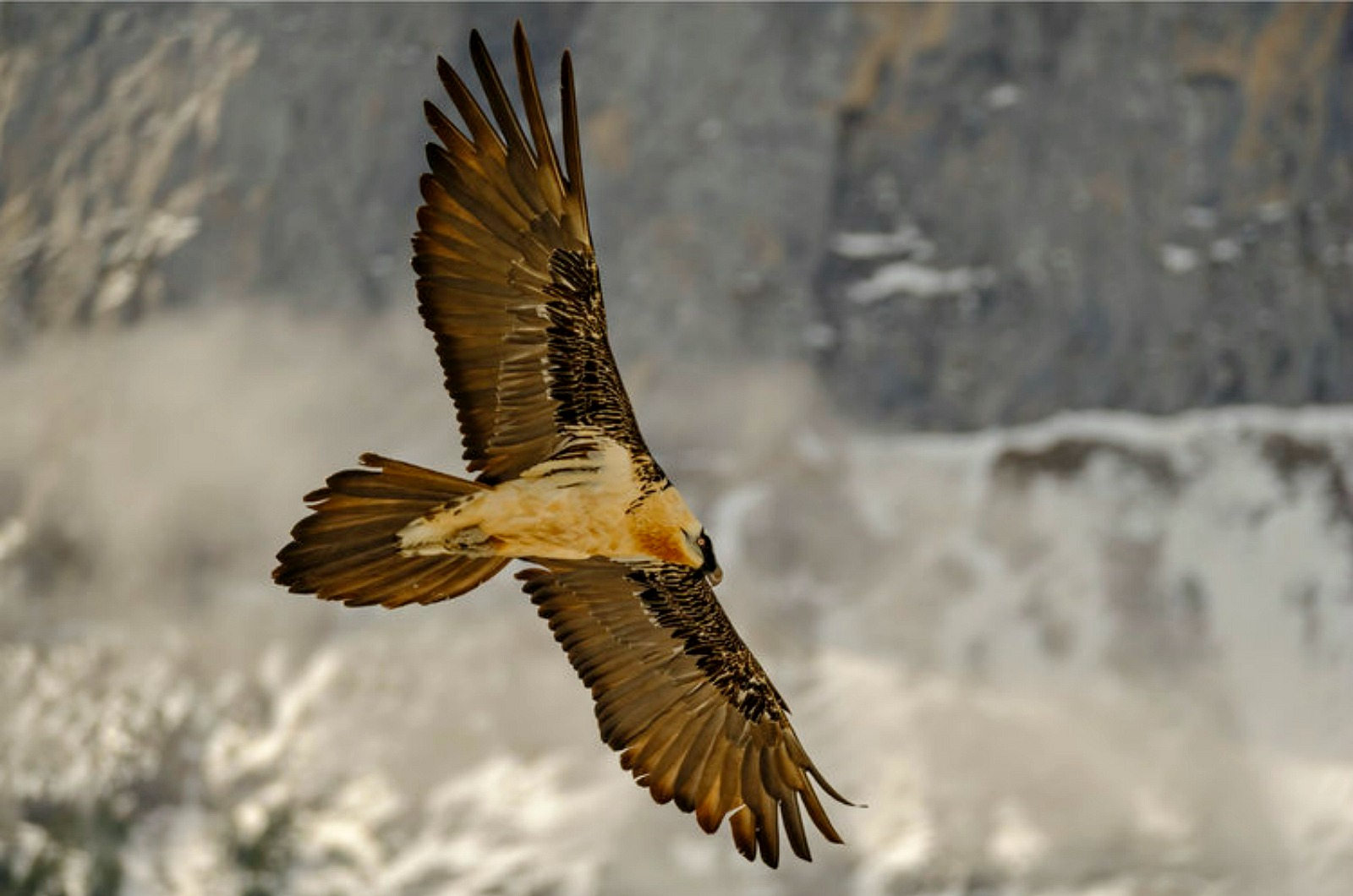 An adult bearded vulture glides in front of the hides we use on our Photography Holiday Spain