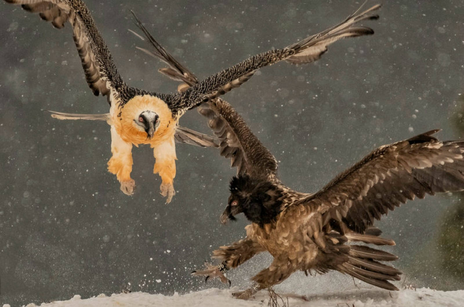 Semi-airborne an adult and juvenile bearded vulture battle over food snow photo taken from the hides we use on our Photography Holiday Spain
