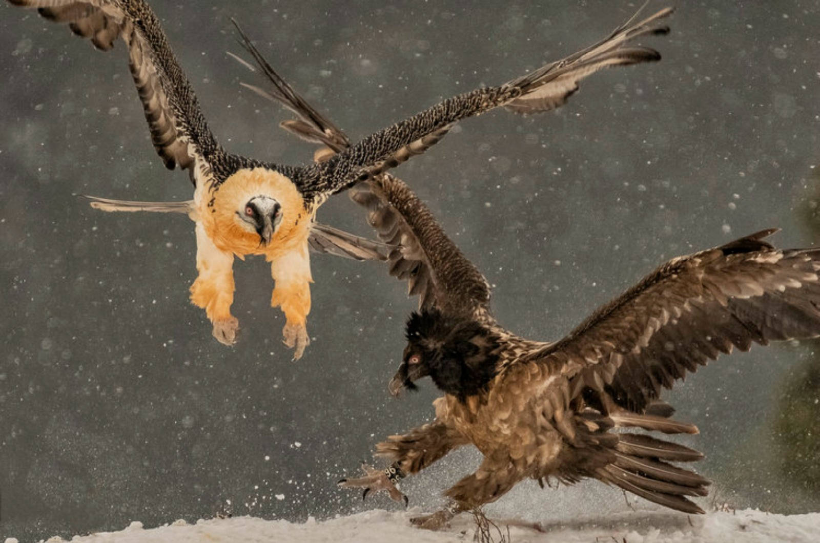 An adult and juvenile bearded vulture tussle for food in front of the hides in snow on our Birds of Northern Spain trip in the Spanish Pyrenees