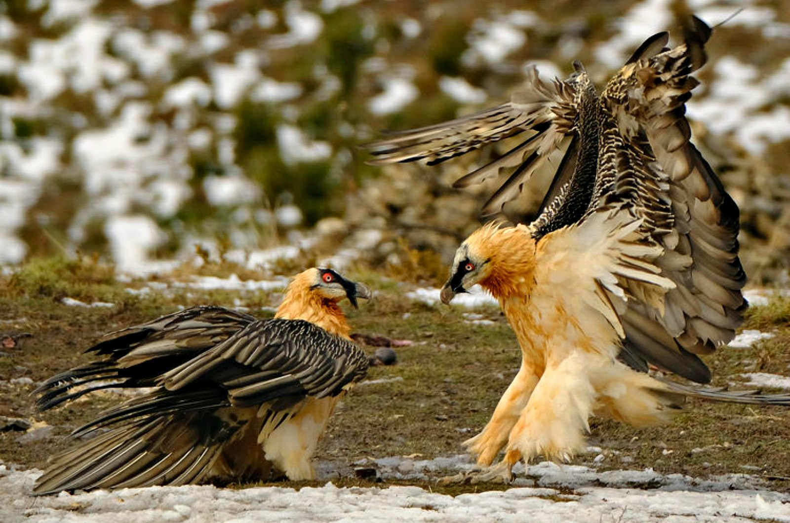 Two adult bearded vultures tussle on the groun in front of the hides on our Birds of Northern Spain trip in the Spanish Pyrenees
