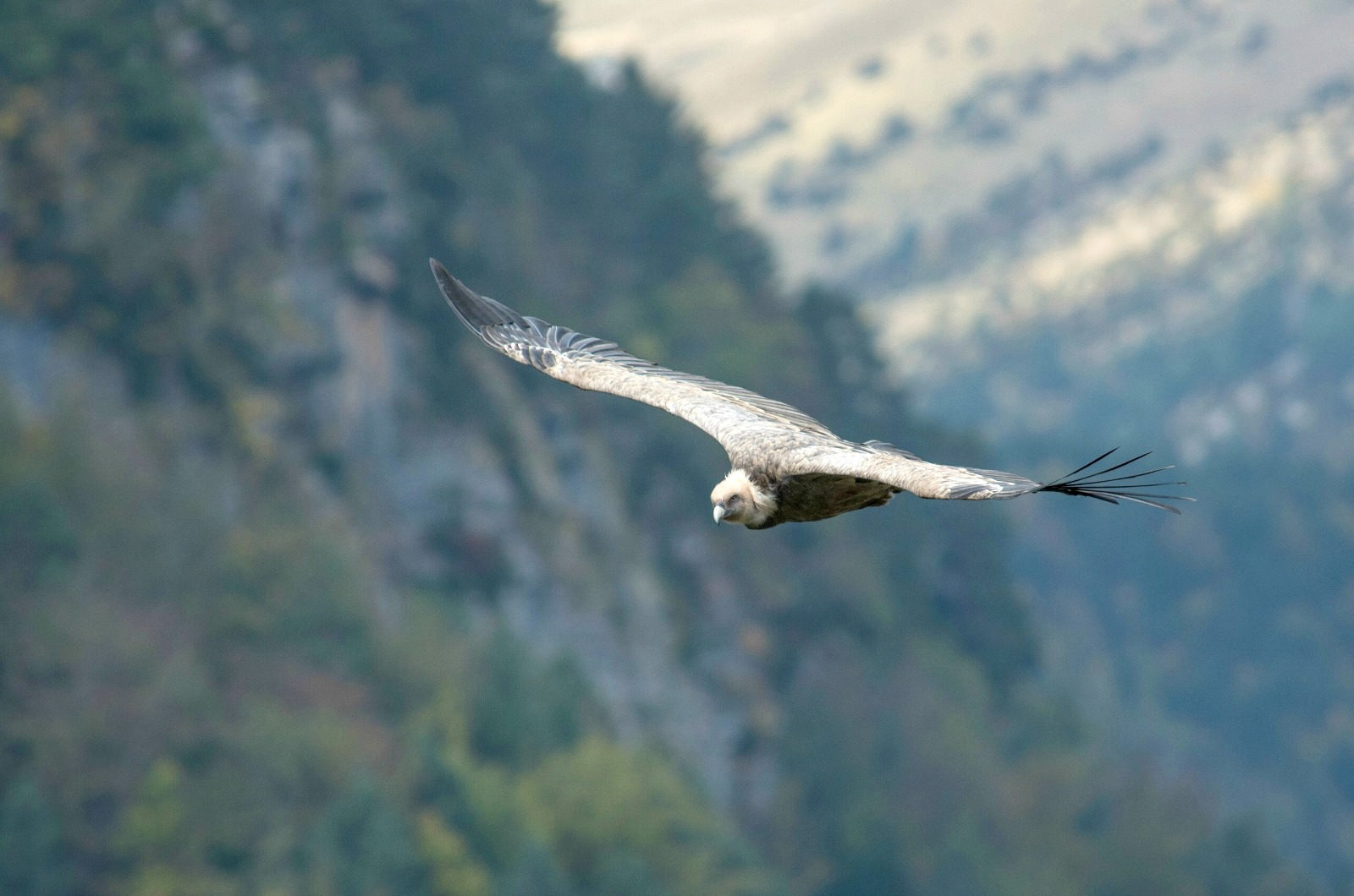 A griffon vulture coming towards us at eye level on a walk on our Guided Walking Holiday Spain