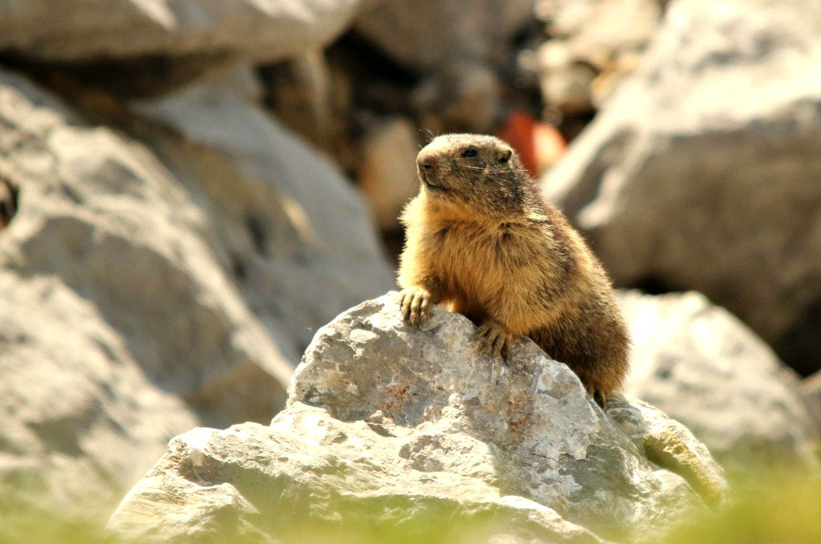 A close up of a marmot taken when hiking in the Spanish Pyrenees on our Guided Walking Holiday Spain