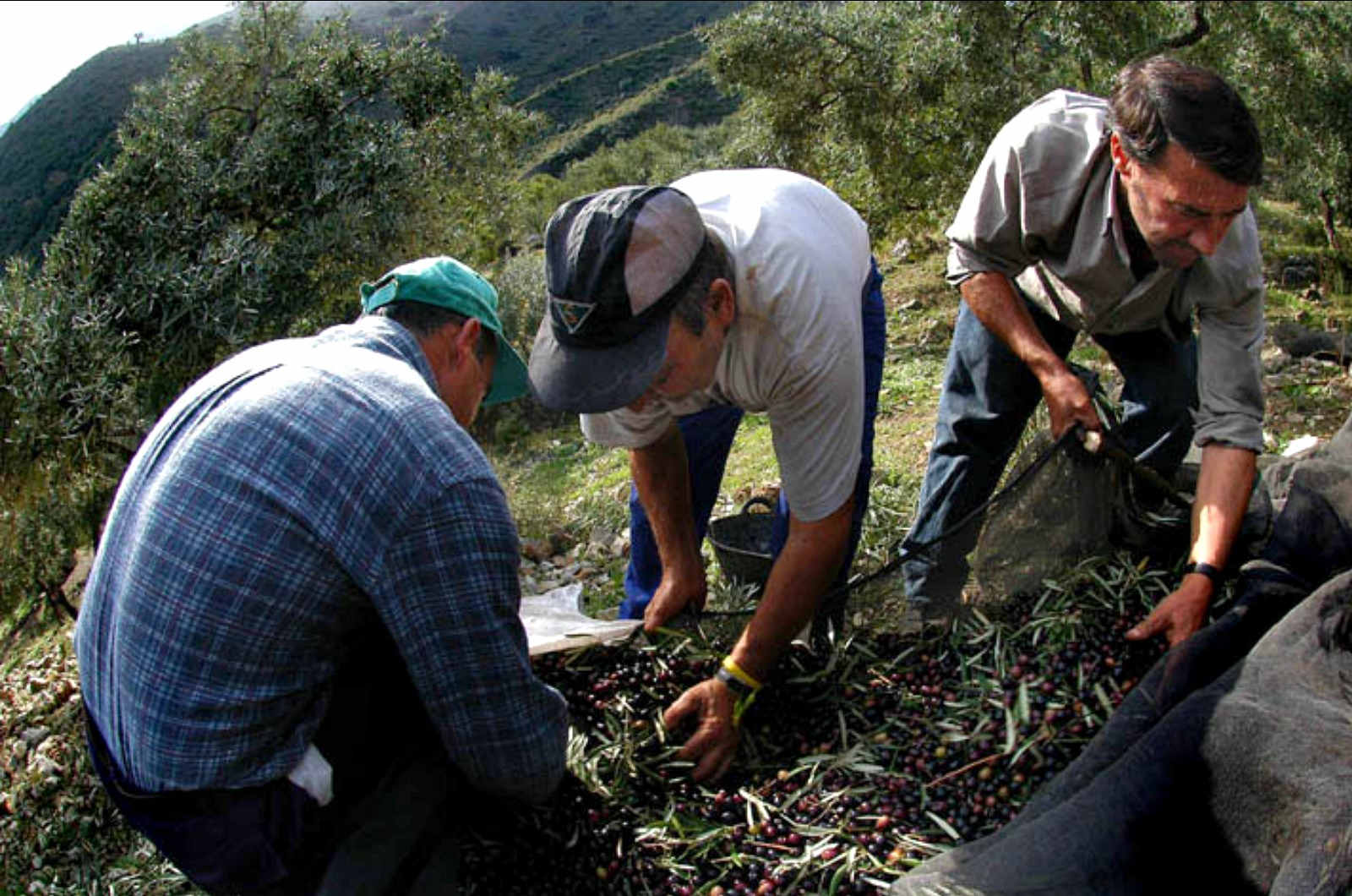 Harvesting olives in the Spanish Pyrenees on a Cooking and Walking Holiday Spain