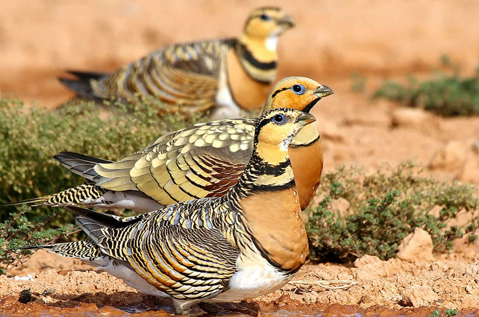 Three pin-tailed sandgrouse drink at a water hole on our Birds of Northern Spain trip in the Spanish Pyrenees