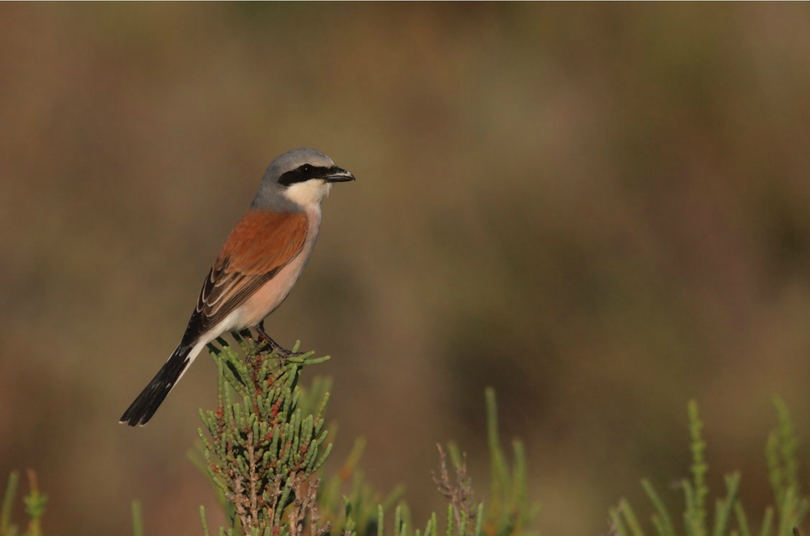 Red Backed Shrike on a regular pirch close to Albella on our Wildlife Walking Holidays Spain