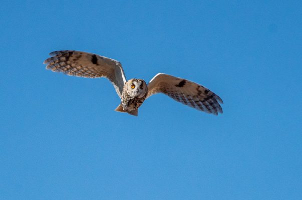 A short eared owl passes over our heads on our Birds of Northern Spain trip in the Spanish Pyrenees