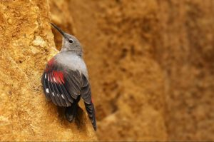 A wallcreepr spotted on the rockface on our Birds of Northern Spain trip in the Spanish Pyrenees