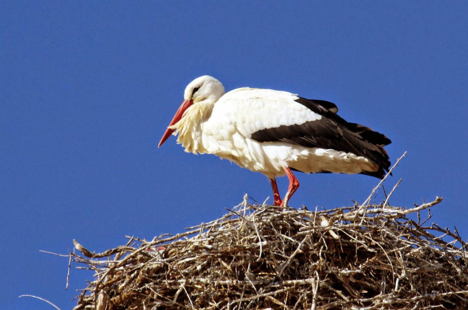 A white stork stands on the nest of rough twigs on a roof top on our Birds of Northern Spain trip in the Spanish Pyrenees