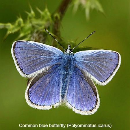 Close up of a common blue butterfly on wildlife walking holidays spain