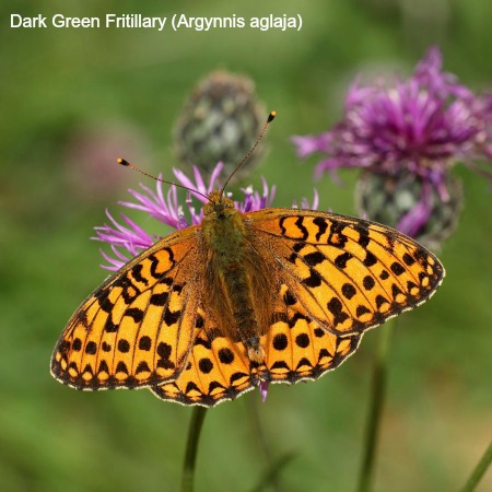 Close up of a dark green fritillary butterfly on wildlife walking holidays spain