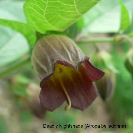 Close up of deadly nightshade on wildlife walking holidays spain