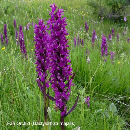 Photo of a Fan Orchid on Wildlife Walking Holidays Spain