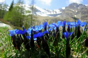 Spring flowers (Gentiana verna) on Wildlife Walking Holidays Spain