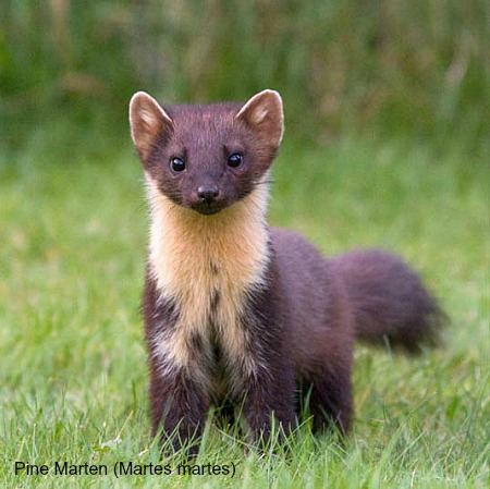 A pine marten looking at camera on wildlife walking holidays spain