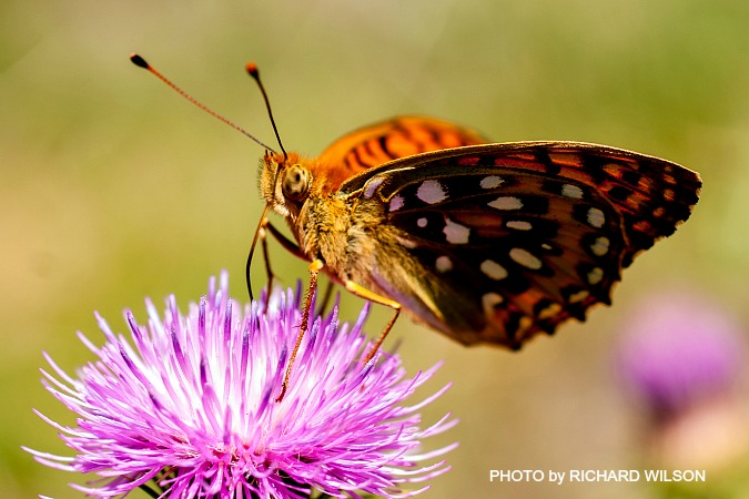 A Fritillary butterfly by Richard Wilson on Nature Photography Holidays Pyrenees