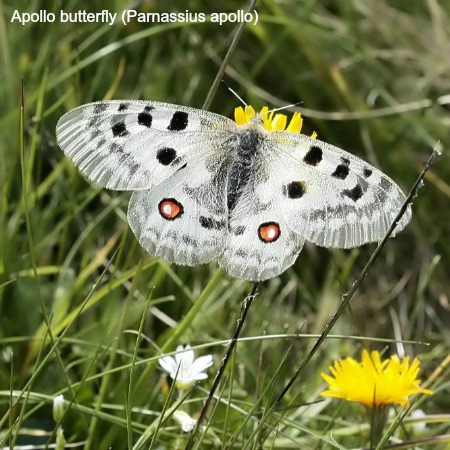 Close up of a female apollo butterfly on wildlife walking holidays spain
