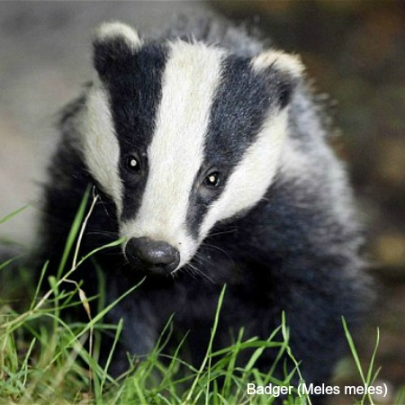 Photo of a badger on wildlife Walking Holidays Spain