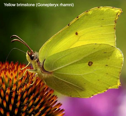 Yellow Brimstone butterfly on wildlife walking holidays spain