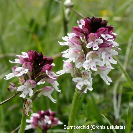 Close up of a burnt orchid on wildlife walking holidays spain