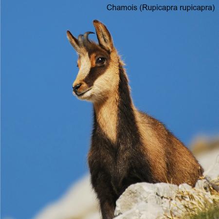 A chamois which we will see on wildlife walking holidays spain