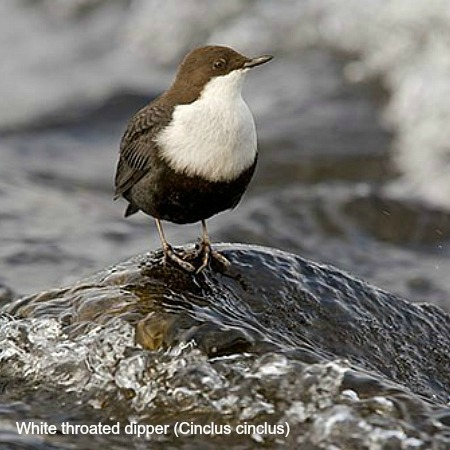 A dipper on a rock in the river on wildlife walking holidays spain