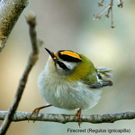 A firecrest on a branch on wildlife walking holidays spain