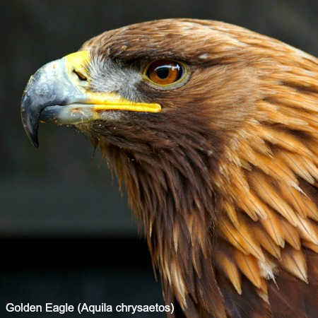 Close up of the head of a golden eagle on wildlife walking holidays spain