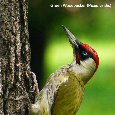 A green woodpecker climbing a tree on wildlife walking holidays spain