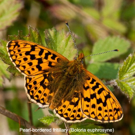 Close up of a pearl bordered fertillary butterfly on wildlife walking holidays spain