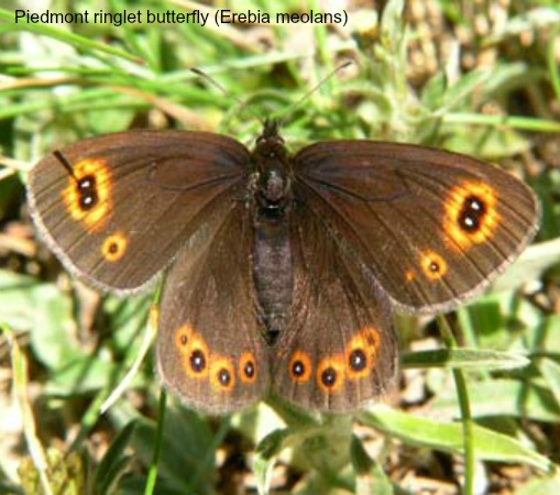 Piedmont ringlet butterfly on wildlife walking holidays spain