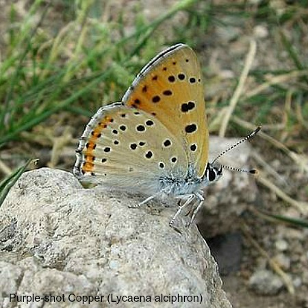 Purple shot copper butterfly with wings folded on wildlife walking holidays spain