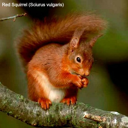 Close up of a red squirrel on a branch on Wildlife Walking Holidays Spain