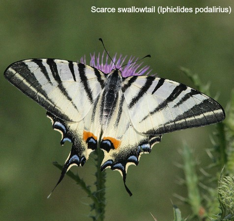 Scarce swallowtail butterfly on a thistle on wildlife walking holidays spain