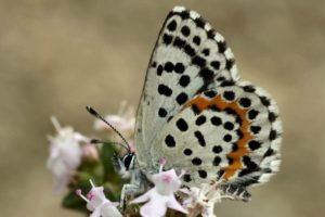 Chequered Blue butterfly on Aragon Active Wildlife Walking Holidays Spain