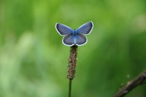 A close up of a common blue butterlfy (Polyommatus icarus) in the Ordesa National Park on the Natural History Holiday with Aragon Active