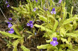 Long leaved butterwort (Pinguicula longifolia) a carnivorous sub-alpine plant found in the Ordesa National Park on the Natural History Holiday with Aragon Active